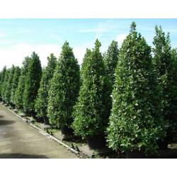 Καλλωπιστικά δέντρα - Δέντρα σκίασης