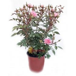 Τριανταφυλλιά νάνα ροζ|Y:0.5m