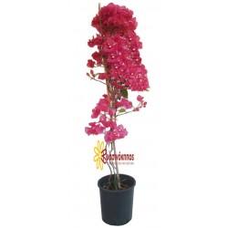 Βουκαμβίλια αναρριχώμενη ροζ